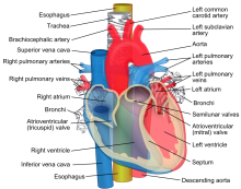 Relations_of_the_aorta,_trachea,_esophagus_and_other_heart_structures